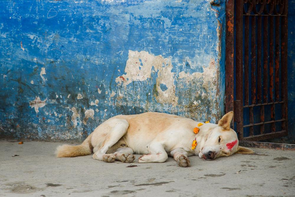 Fotografie psa ozdobeného měsíčky a tikou při nepálském festivalu světel Tihar.