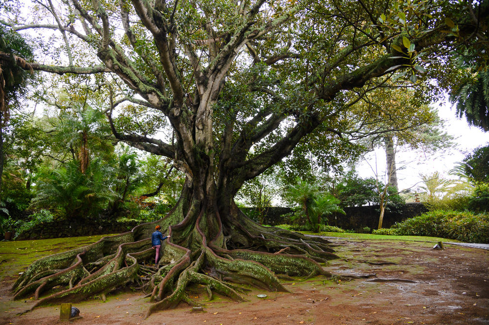 An old tree in Azores.