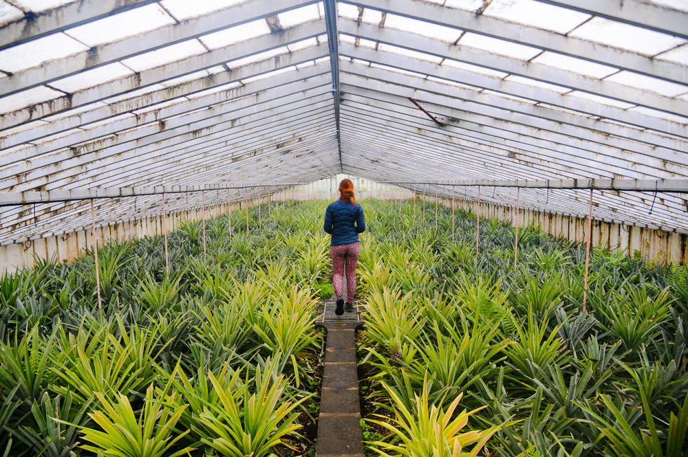 Greenhouse in a pineapple plantation in Azores.