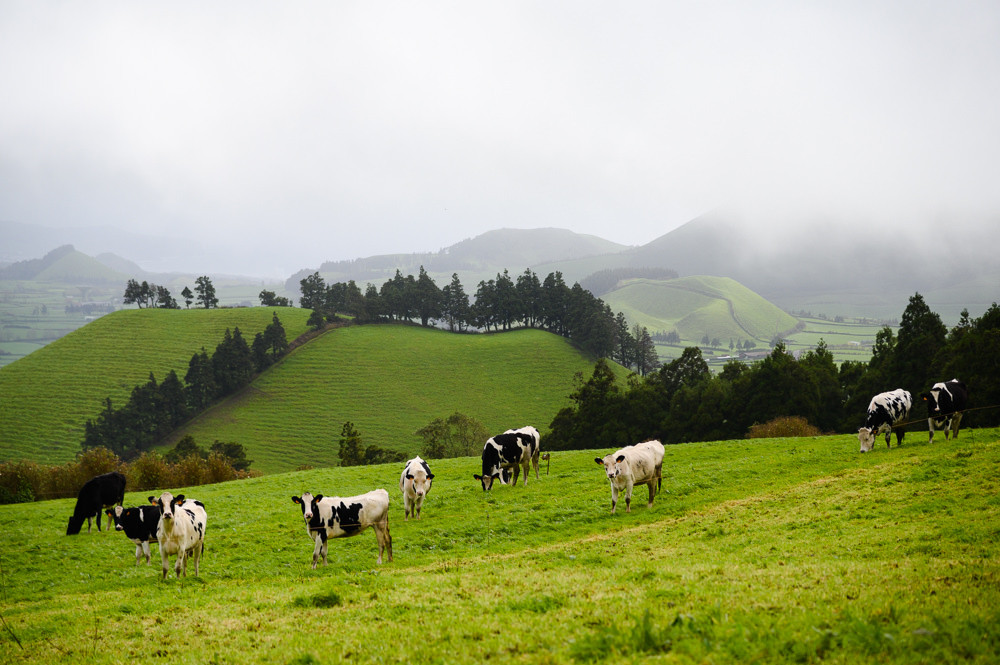 Typical Azores landscape with cows.