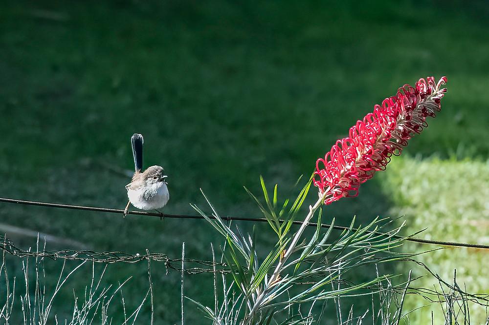 Superb Fairy Wren