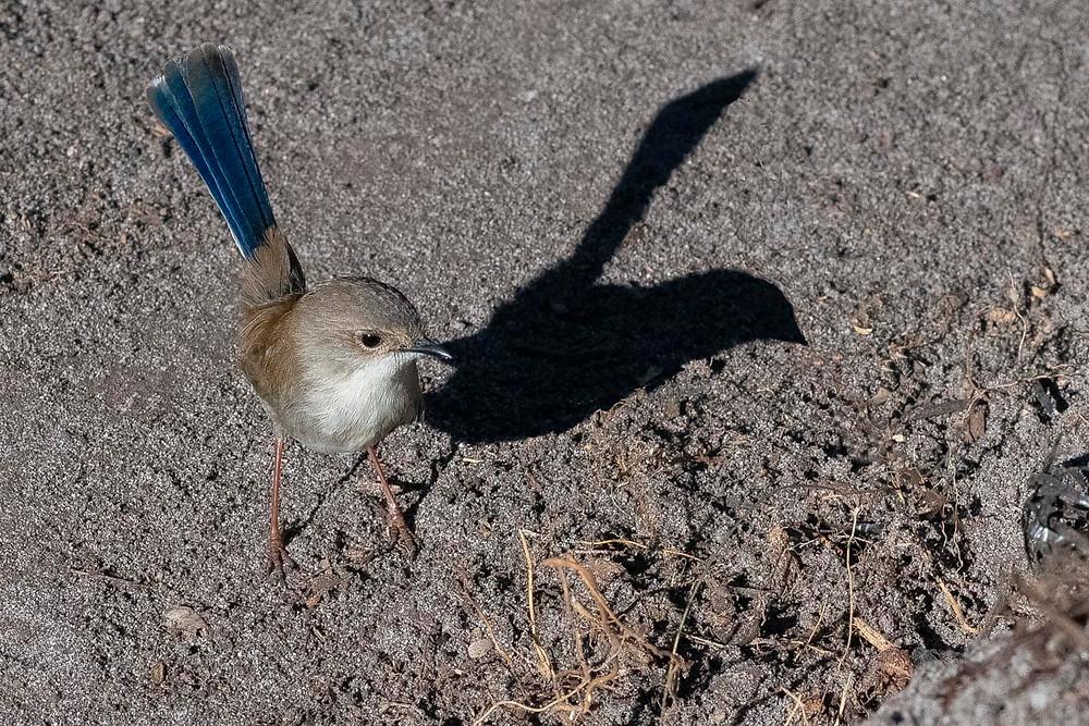 Suberb Fairy wren