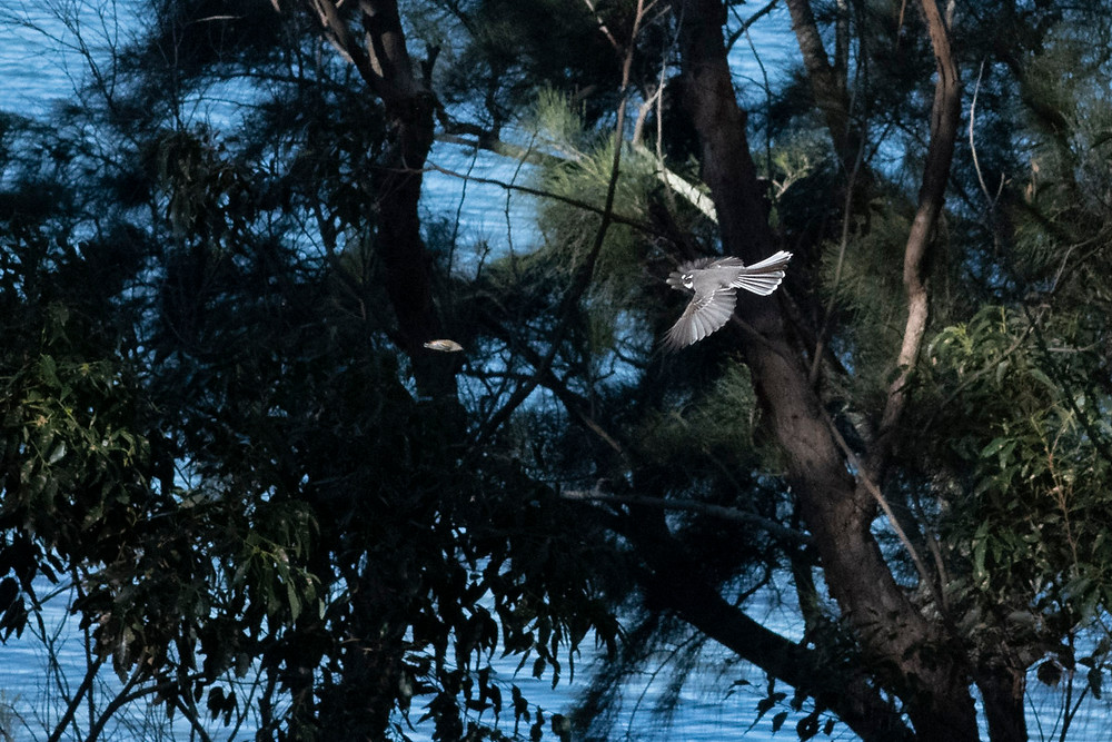 Grey Fantail in flight
