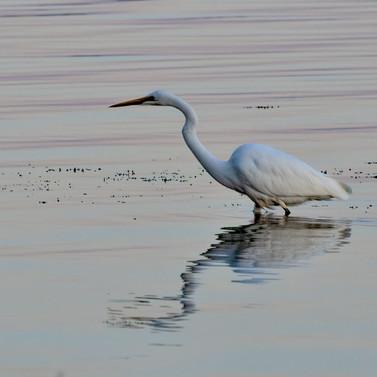 egret-_SNW5273-Edit.jpg