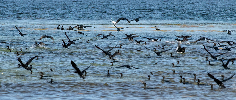 Birds jockeying for position as a school of fish is discovered
