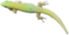 Day Gecko Mododragon.com