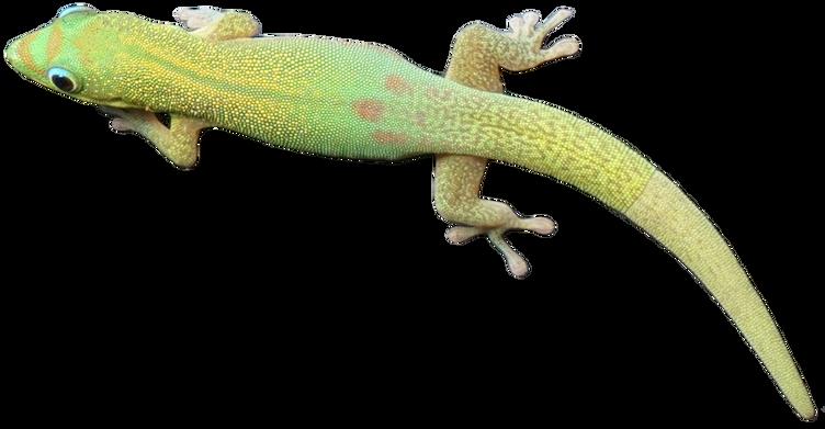 Day Gecko Mododragon.com