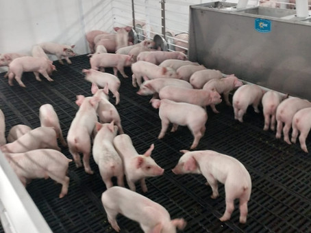 PORK PRODUCTION TODAY: HIGHLY EFFICIENT