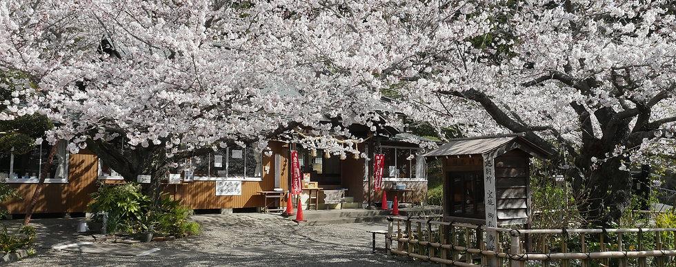桜まつり 真野寺 大黒天祈祷殿.jpg