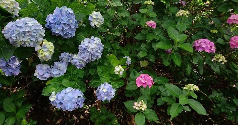 紫陽花ヒメアジサイ.jpg