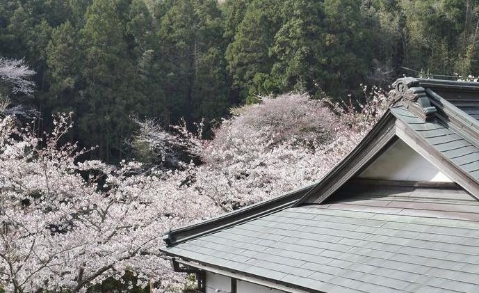 12 真野寺 境内 本堂と桜.jpg