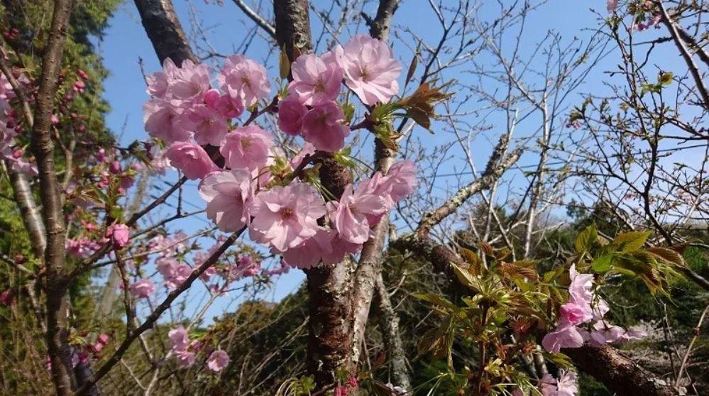 祈祷書山門の八重桜.JPG
