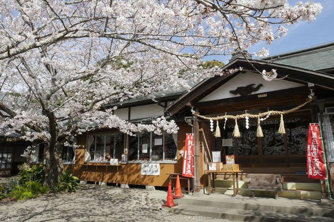 14 真野寺 境内 祈祷殿 桜 満開.jpg