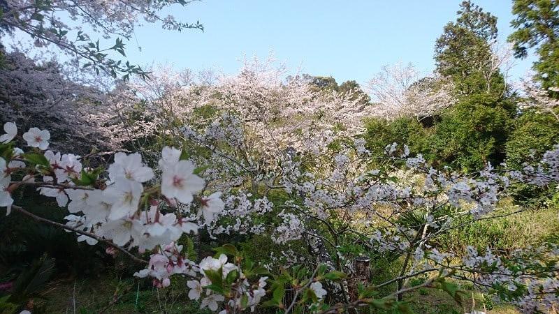 阿弥陀如来近くのイチハツの花.jpg