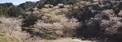 松月寺 四季桜.jpg