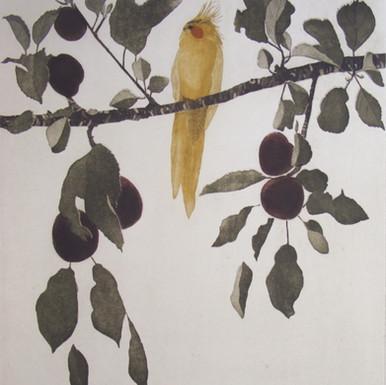 Cockateel in a plum Tree