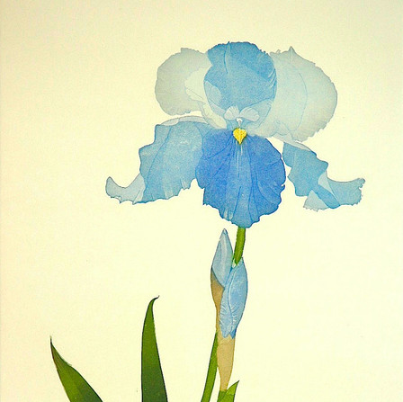 Iris Brise de Mer
