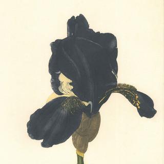 Iris 'Merechal Ney'