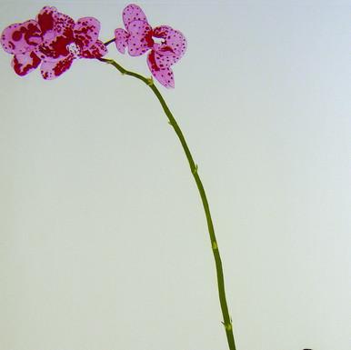 Phalaenopsis Hybrid 1
