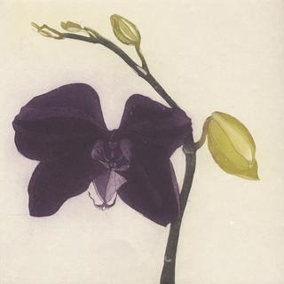 Purple Butterfly Orchid