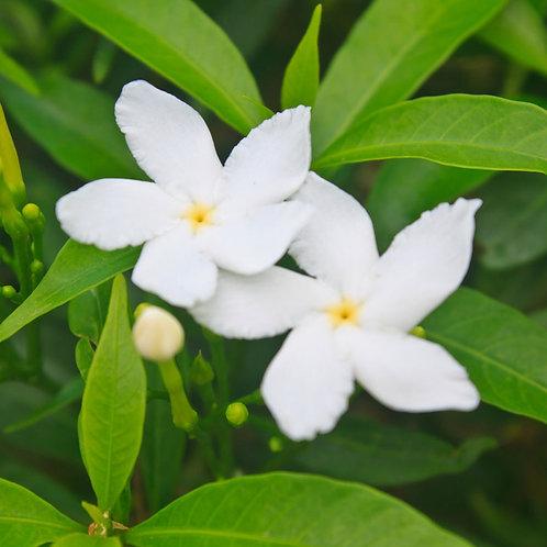 PIKAKE FLOWER - Fragrance Oil