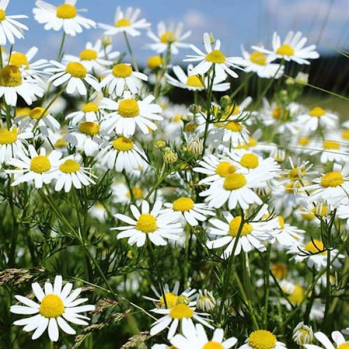 CHAMOMILE - Essential Oil
