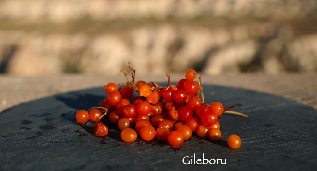 Gileboru