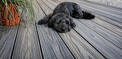 Decking_with_dog_NFF