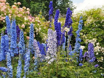 Waarom zijn maar weinig bloemen blauw?