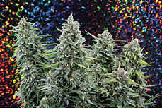 Free-Weed-93_Cultivation-Tech.jpg
