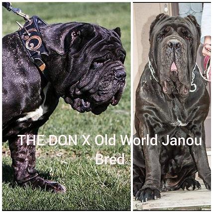 Don Vito x Janou breeding.jpg