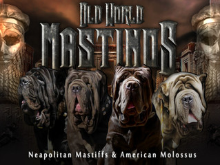 What colors do Neapolitan Mastiffs come in?