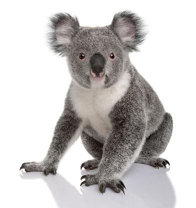 Young koala, Phascolarctos cinereus, 14
