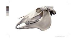 Horse equus skull