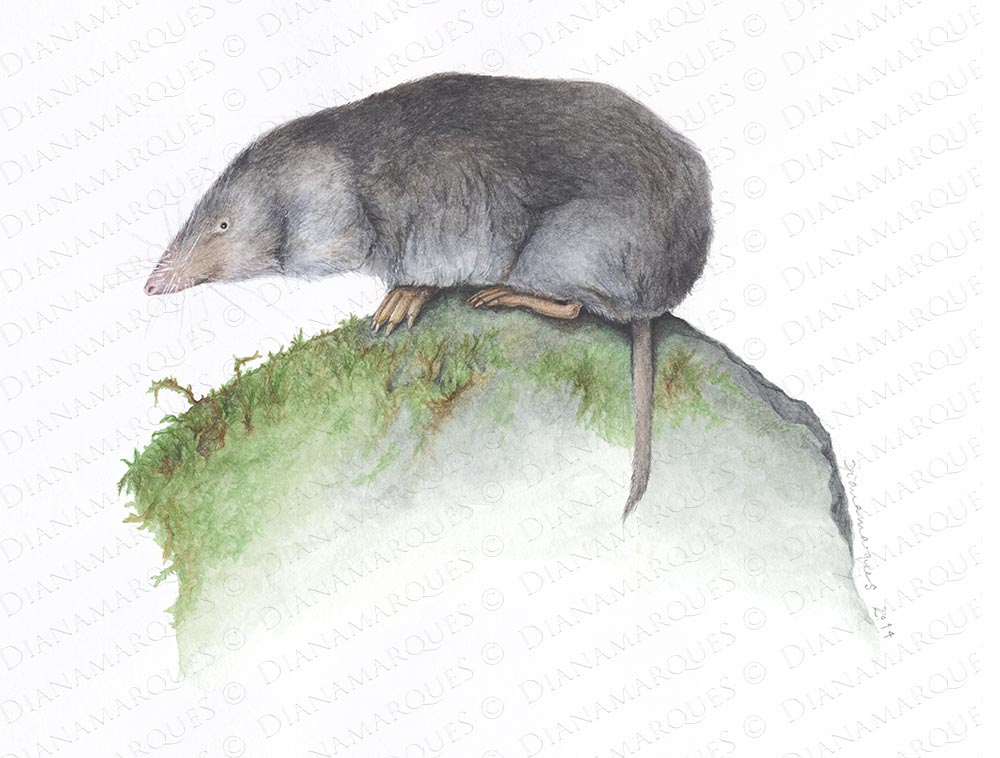 Northern Short Tailed Shrew