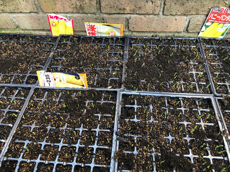 第二弾夏野菜植えの準備