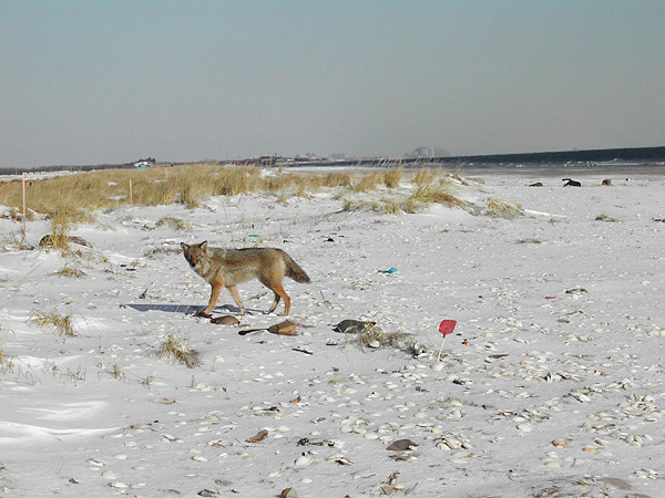 Coyote at Breezy Point (Queens) photographed by Don Riepe in Winter 2004