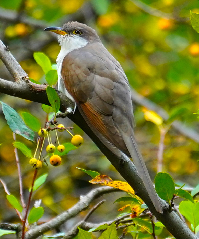 Yellow-billed Cuckoo by Jeremy Nadel (originally from the Bronx) in Shakespeare Garden and seen on our bird walk on 7 October 2019