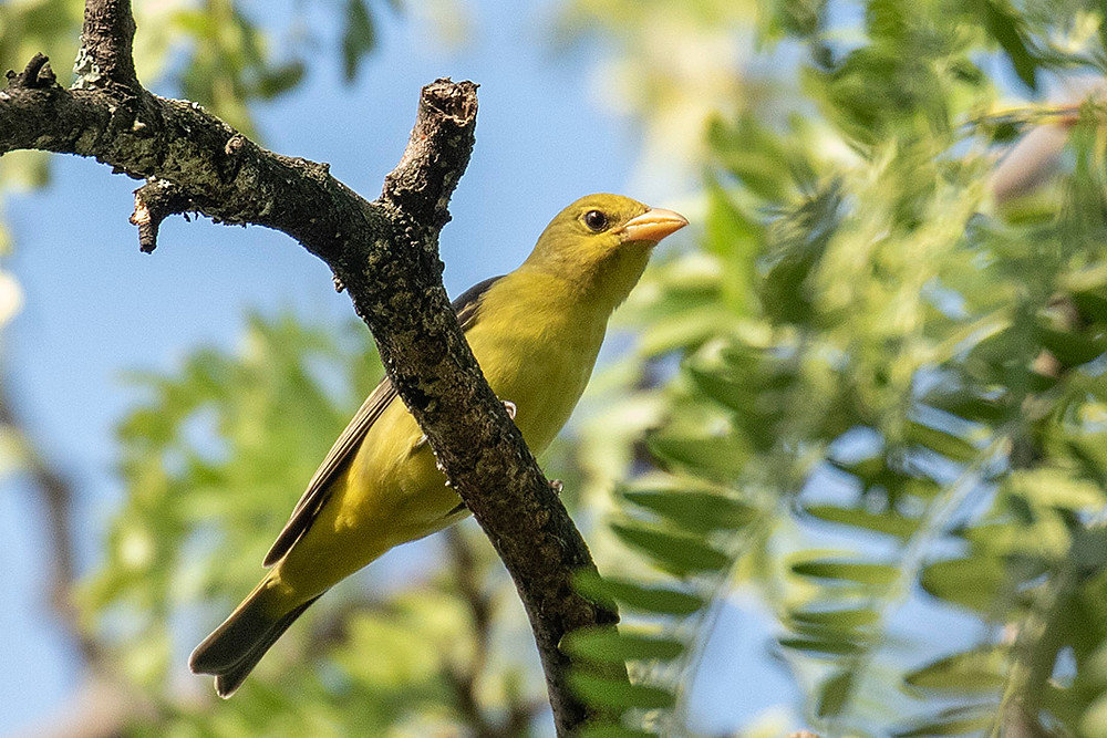 Scarlet Tanager (hatch-year male) at Shakespeare Garden (Central Park) on 15 September 2019 by Deborah Allen
