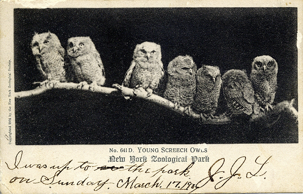 Eastern Screech-owls along the Bronx River at the Bronx Zoo in March 1917