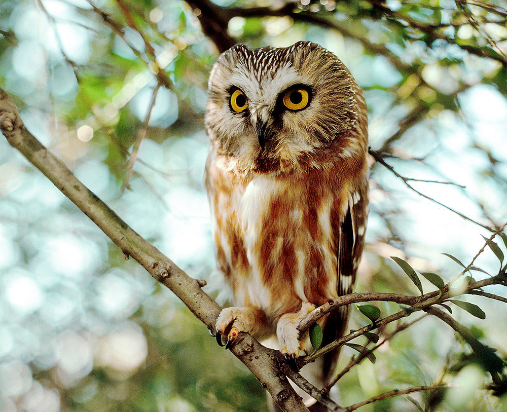 Northern Saw-whet Owl in February 1990 at Pelham Bay Park, Bronx