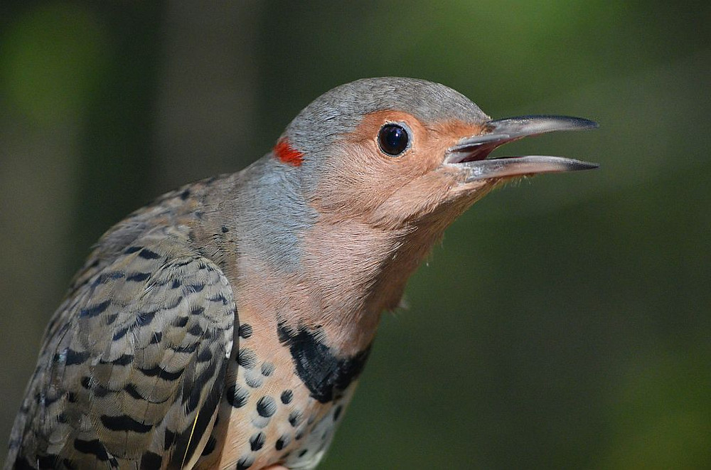 """Yellow-shafted [NORTHERN] Flicker by Doug Leffler. This woodpecker nests in all the """"larger"""" parks of NYC including Central Park"""