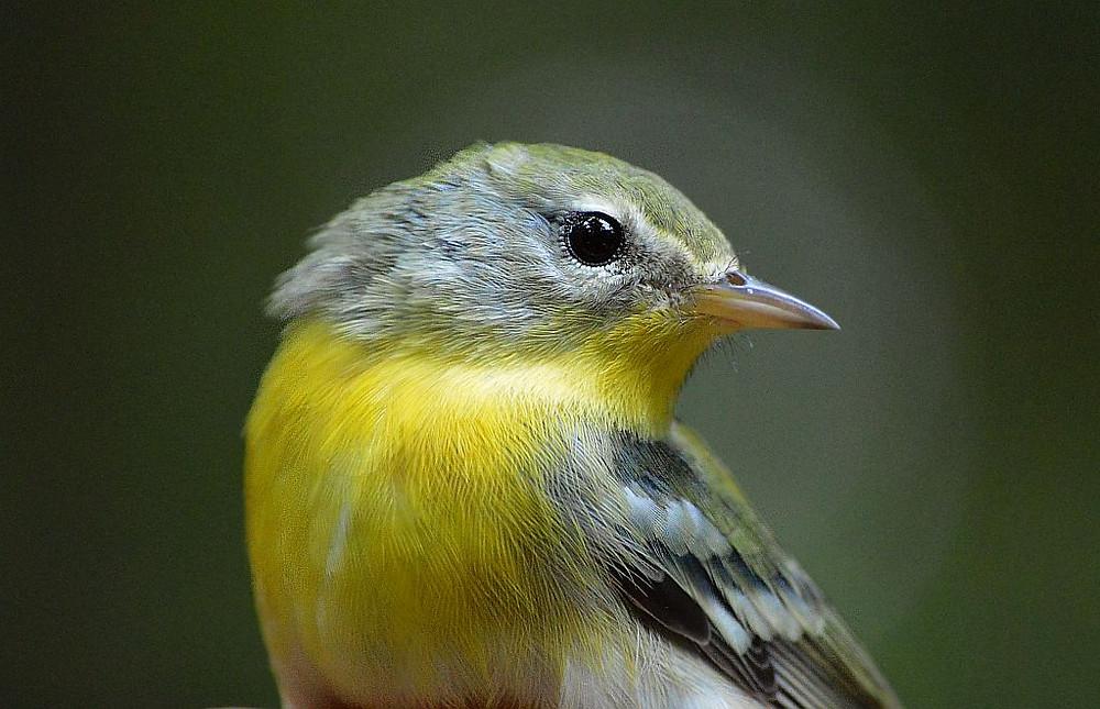 Northern Parula warbler by Doug Leffler