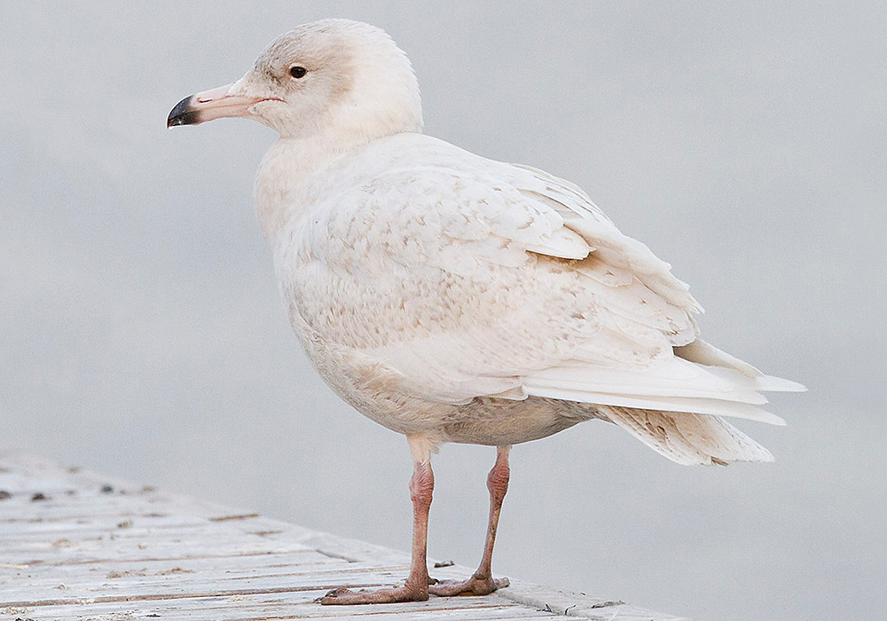 Glaucous Gull, Feb. 2012 by Deborah Allen