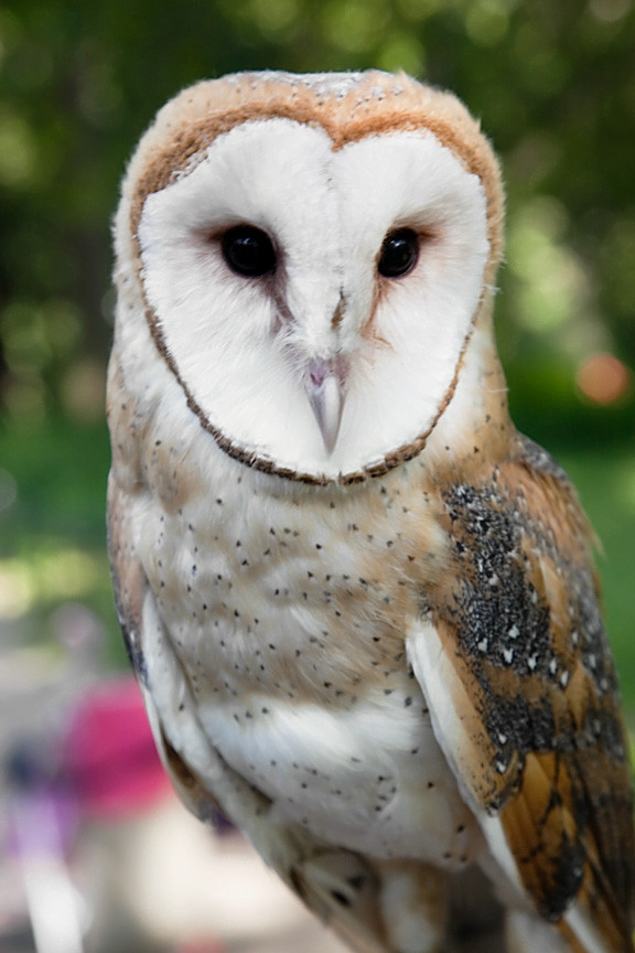 Barn Owl, NYC in July 2009