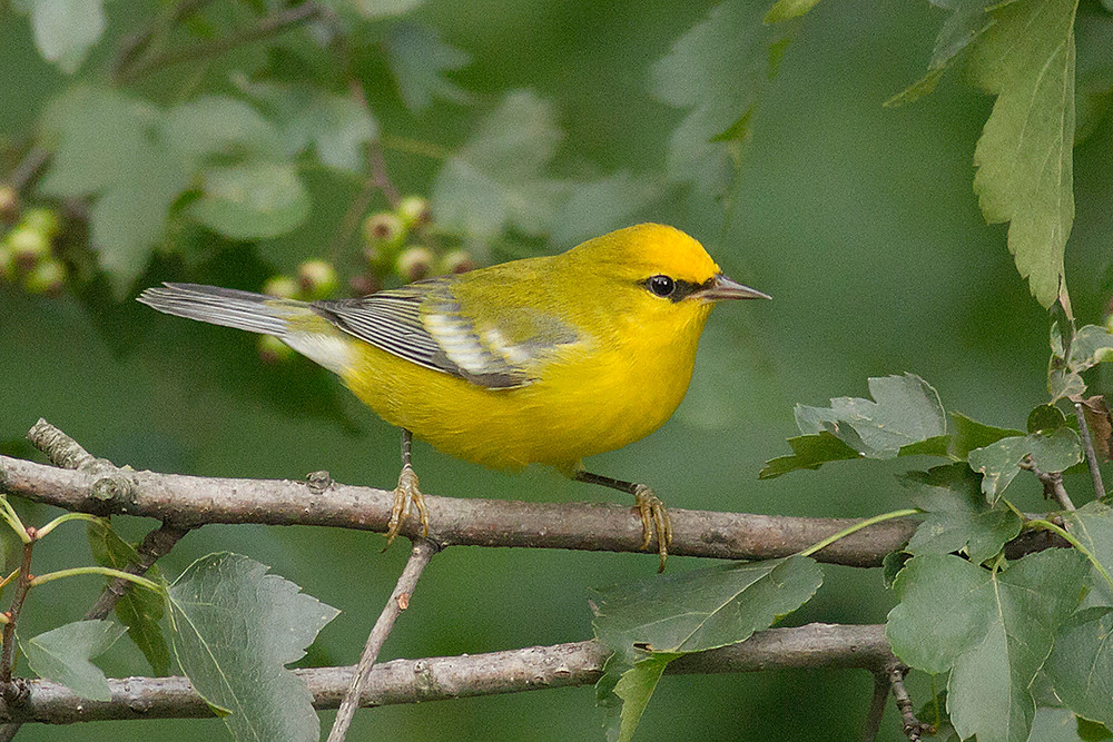 Blue-winged Warbler in Central Park on 29 August 2011 by Deborah Allen