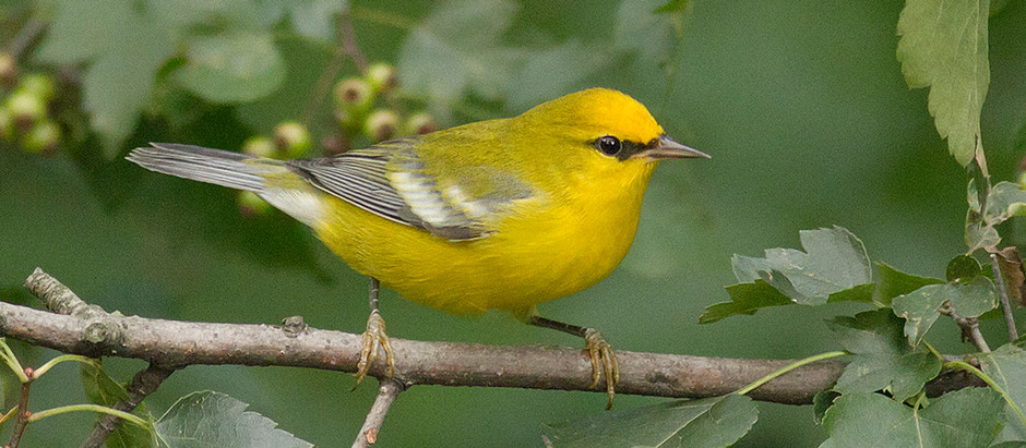 More Warblers, More Owls - in Manhattan No Less: Aug 10 and 11 + 13.