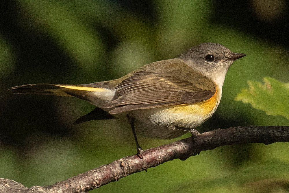 Immature Male American Redstart at Belvedere Castle (Central Park) on 21 September 2019 by Deborah Allen
