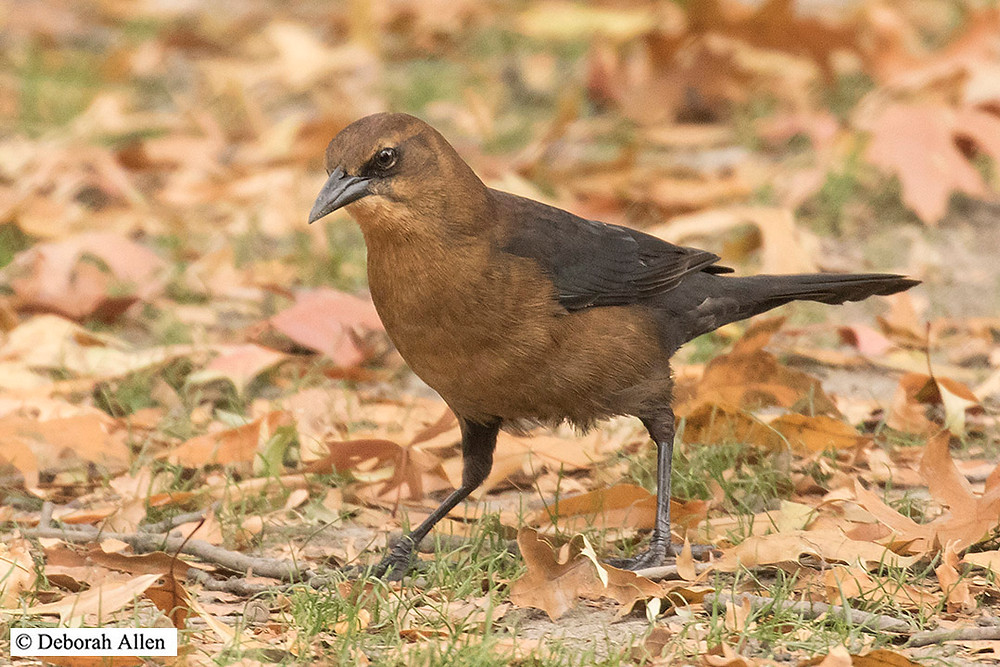 Boat-tailed Grackle (hatch-year; sex undetermined) Central Park, 3 December 2017
