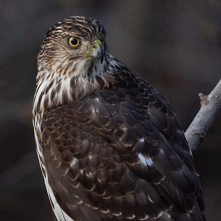 Immature male Cooper's Hawk in the Ramble of Central Park on Sunday, 26 January 2020 by Deborah Allen
